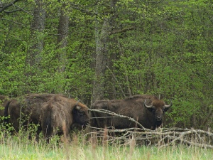 European bison in Poland's eastern forests.