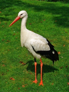 Poles love their storks, and storks love their Poles.