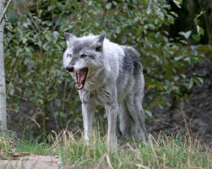 The grey wolf looking scary.