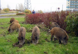 Yeah, these wild pigs are digging for crap right in  a Polish town.